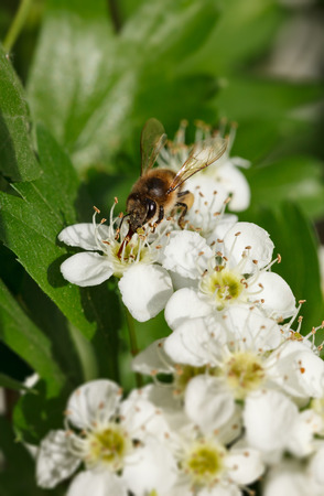 mellifera: Closeup of honeybee (Apis mellifera) feeding on flowering hawthorn (Crataegus monogyna) Stock Photo