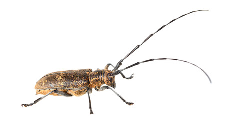the antennae: Macro low angle side view of beetle with long antennae over white background