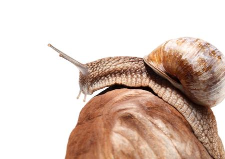 creep: Macro of garden snail (Helix pomatia) creep over pebble, isolated on white background Stock Photo