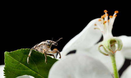 curculionidae: Macro of weevil (Otiorrhynchus sulcatus) portrait in front of apple flower isolated on black Stock Photo