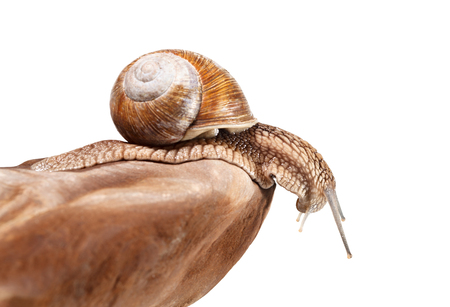 slithery: Macro of escargot (Helix pomatia) looking down from rock, isolated on white