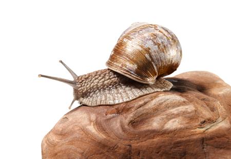 slithery: Macro of Burgundy snail (Helix pomatia) on stone, isolated on white background