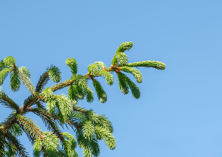 picea: Underside view of conifer tree (Picea orientalis) brunch at spring over blue sky background Stock Photo