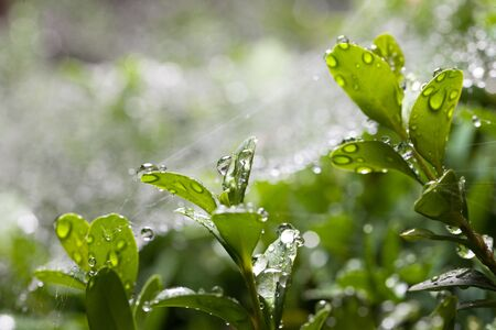 boxwood: Bright rain drops on web and boxwood (Buxus sempervirens) leaves