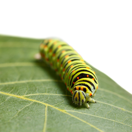 vermin: Front low angle view of vermin caterpillar on leaf isolated on white Stock Photo