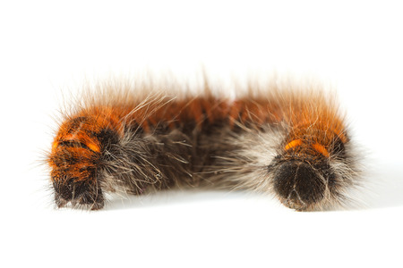 shaggy: Macro of coil up vermin shaggy caterpillar over white background Stock Photo