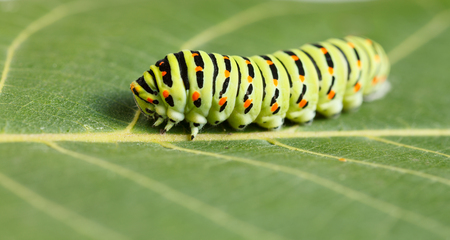vermin: Side view of pest colorful caterpillar on green leaf