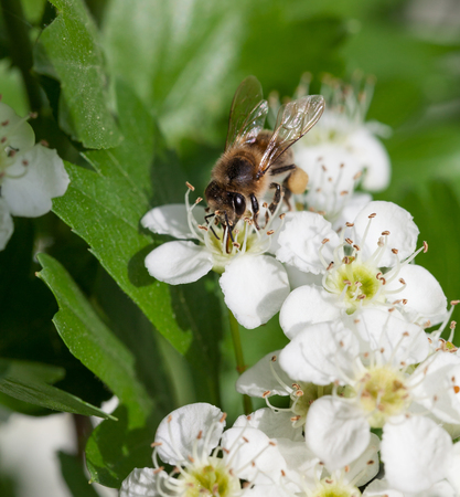 apis: Closeup of bee (Apis mellifera) on flowering hawthorn (Crataegus monogyna)