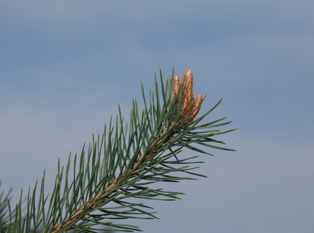 pine needles close up: Macro of fir twig with buds over blue sky background at spring