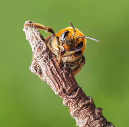 mellifera: Macro en face of honey bee (Apis mellifera) over green background