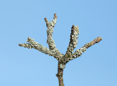 wizen: Macro of aged dry branch over blue sky background