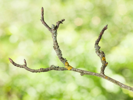 crooked: Macro of crooked aged branch over green trees background