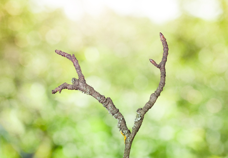 wizen: Macro of old dry rough branch over green trees background, flare lighting effect Stock Photo