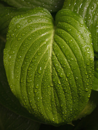 plantain: Macro of big Hosta (plantain lilies) leaf  with rain drops