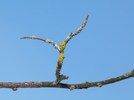 wizen: Closeup of old tree dry twig with lichen over blue sky background