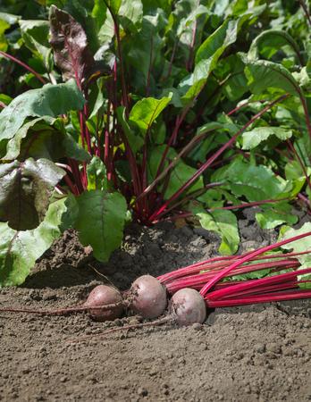 beta: Closeup of beetroots (Beta vulgaris) crop over growing vegetables background Stock Photo