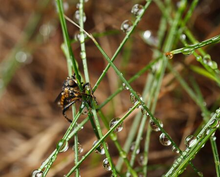 asilidae: Macro portrait of robber fly (Asilidae) sitting on grass in rain drops
