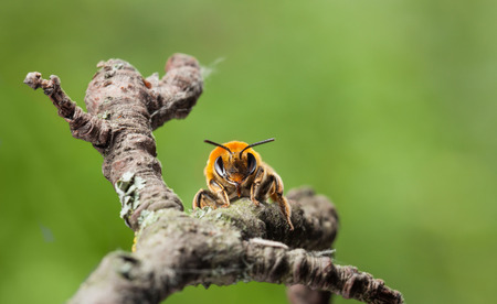 mellifera: Macro front view of worker bee (Apis mellifera) sitting on twig of fruit tree