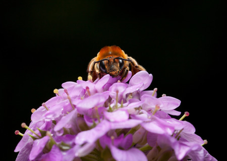 mellifera: En face of worker bee (Apis mellifera) sitting on pink flower over black background