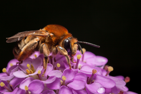 mellifera: Low angle macro view of worker bee (Apis mellifera) pollinating pink flower