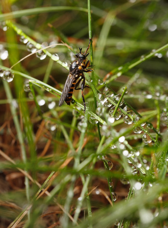 assassin: Low angle side view of assassin fly (Asilidae) sitting on grass in rain drops Stock Photo