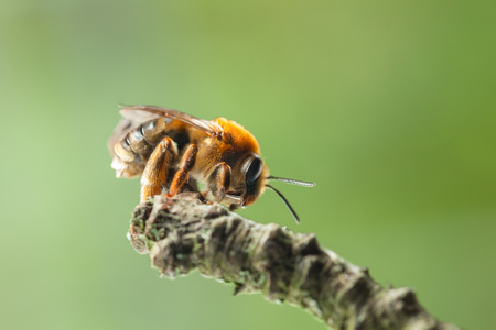 mellifera: Underside view of honey bee (Apis mellifera)  on twig over green background