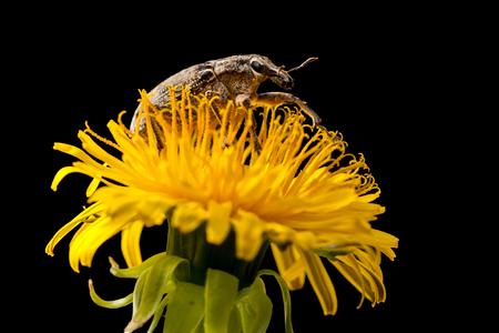 weevil: Macro portrait of weevil on dandelion isolated on black background