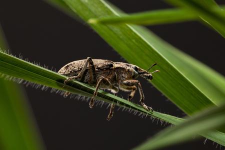 weevil: Macro of Black Vine Weevil (Otiorrhynchus sulcatus) on cereal leaf blade, low angle side view