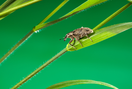 curculionidae: Macro of weevil (Otiorrhynchus sulcatus) on cereal grass stalk, low angle side view Stock Photo