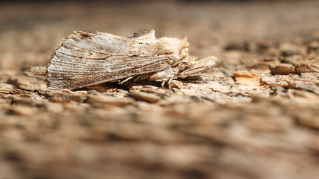 lepidoptera: Macro of fuzzy lepidoptera sitting on old wood surface Stock Photo