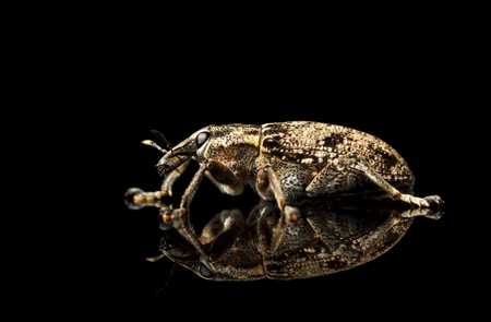 snout: Macro of snout weevil (Otiorrhynchus sulcatus) on reflective plate isolated on black, side view
