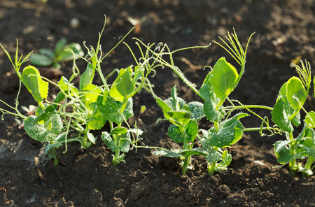 Row of young pea sprouts with drops of morning dew on vegetable garden