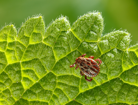 wood tick: Macro of ornate parasite tick (Ixodidae, Dermacentor reticulatus) crawling on nettle grass leaf