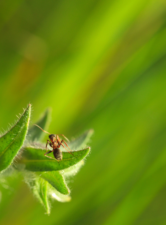Macro of ant on fluffy monkswort (Nonea pulla) leaf over green meadow background