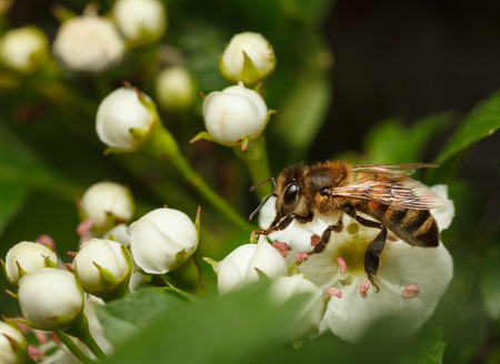 mellifera: Closeup of bee (Apis mellifera) on flowering hawthorn (Crataegus monogyna)