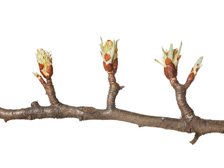 Tree  flower buds and one leaf bud on pear twig ready to bloom, isolated on white