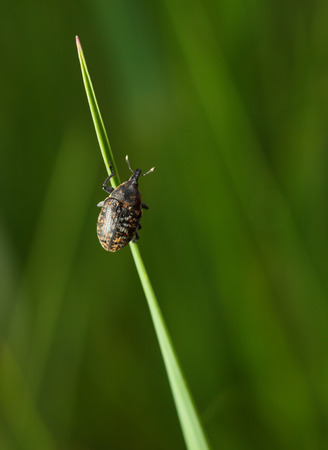 curculionidae: Macro of weevil beetle climbing on grass blade over green meadow background