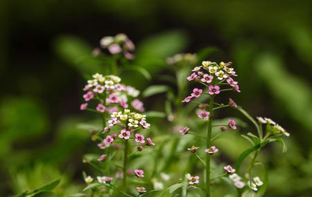 alison: Macro of Alyssum (Lobularia maritima) small flowers over meadow background