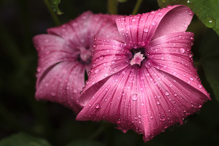 Violet mallow flowers (Malva sylvestris) with rain drops over dark background