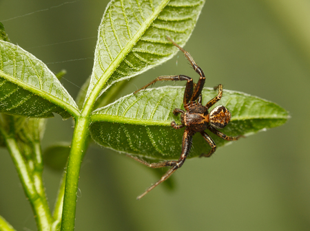 Macro of spider sprawl and hidden in green tee leaves Stock Photo