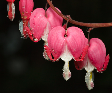bleeding heart: Macro of pink flowers Dicentra spectabilis (Bleeding Heart) with water drops after the rain Stock Photo