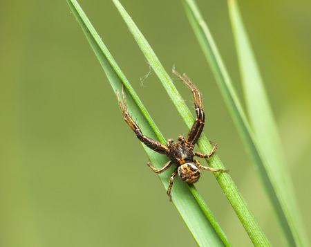 sprawl: Macro of spider sprawl on green grass blades over green meadow background Stock Photo