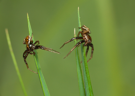 Macro of two neighbors spiders on grass blades over green meadow background Stock Photo