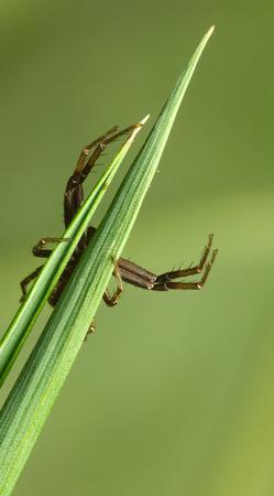 Makro-Ansicht der Unterseite Spinne auf Gras Klinge verteilt seine Jagd Beine Standard-Bild