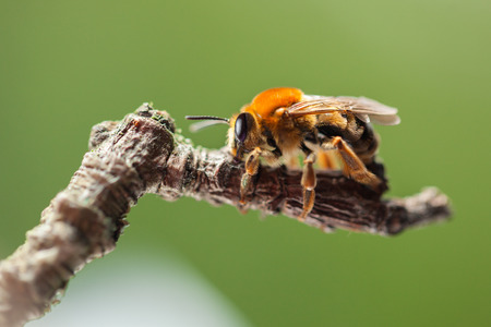 apis: Macro low angle lateral view of honey bee (Apis mellifera)  on twig over green background