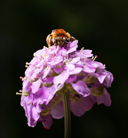 mellifera: Low angle front view of worker bee (Apis mellifera) pollinating pink flower Stock Photo