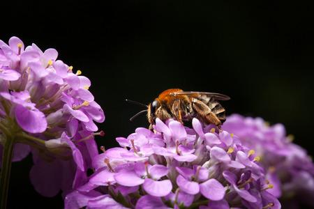 honeybee: Macro of honeybee on inflorescence flower over black background