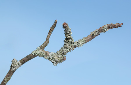 wizen: Macro of grey lichen on withered dry branch over blue sky background Stock Photo