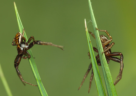 Macro of two spiders on neighbouring grass blades Stock Photo