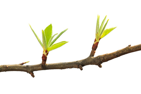 spring leaf: Macro of fresh leaves on fruit-tree twig isolated on white background